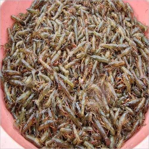 巴中龙虾苗养殖基地
