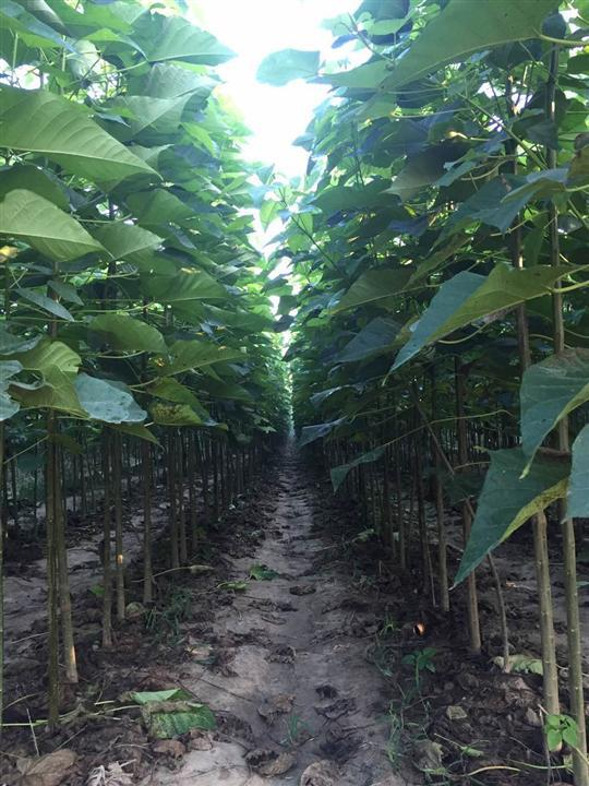 台州速生楸采购 立本苗木种植