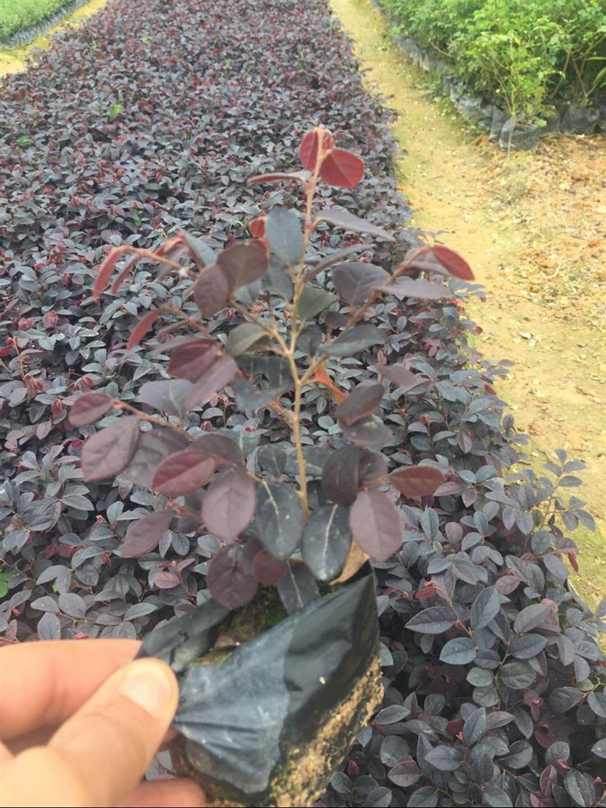 安庆红花檵木售价