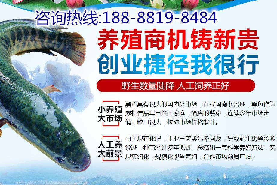 蚌埠黑鱼苗每亩地放多少