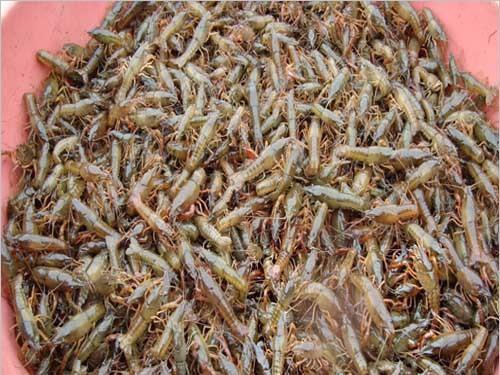 泸州现货种虾多少钱 民辉特