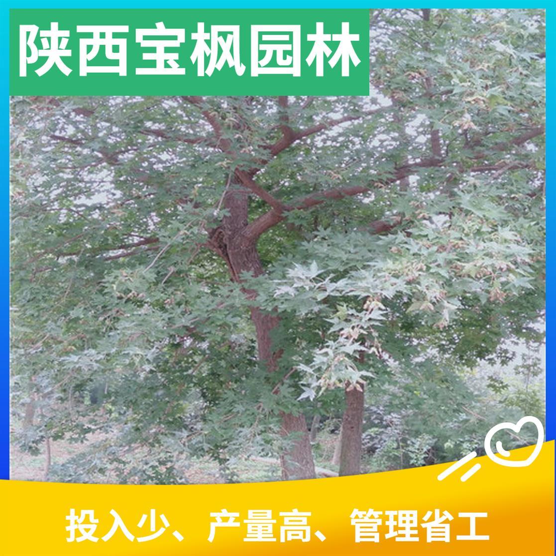 广东2公分元宝枫泡茶 七叶树 基地品种齐全