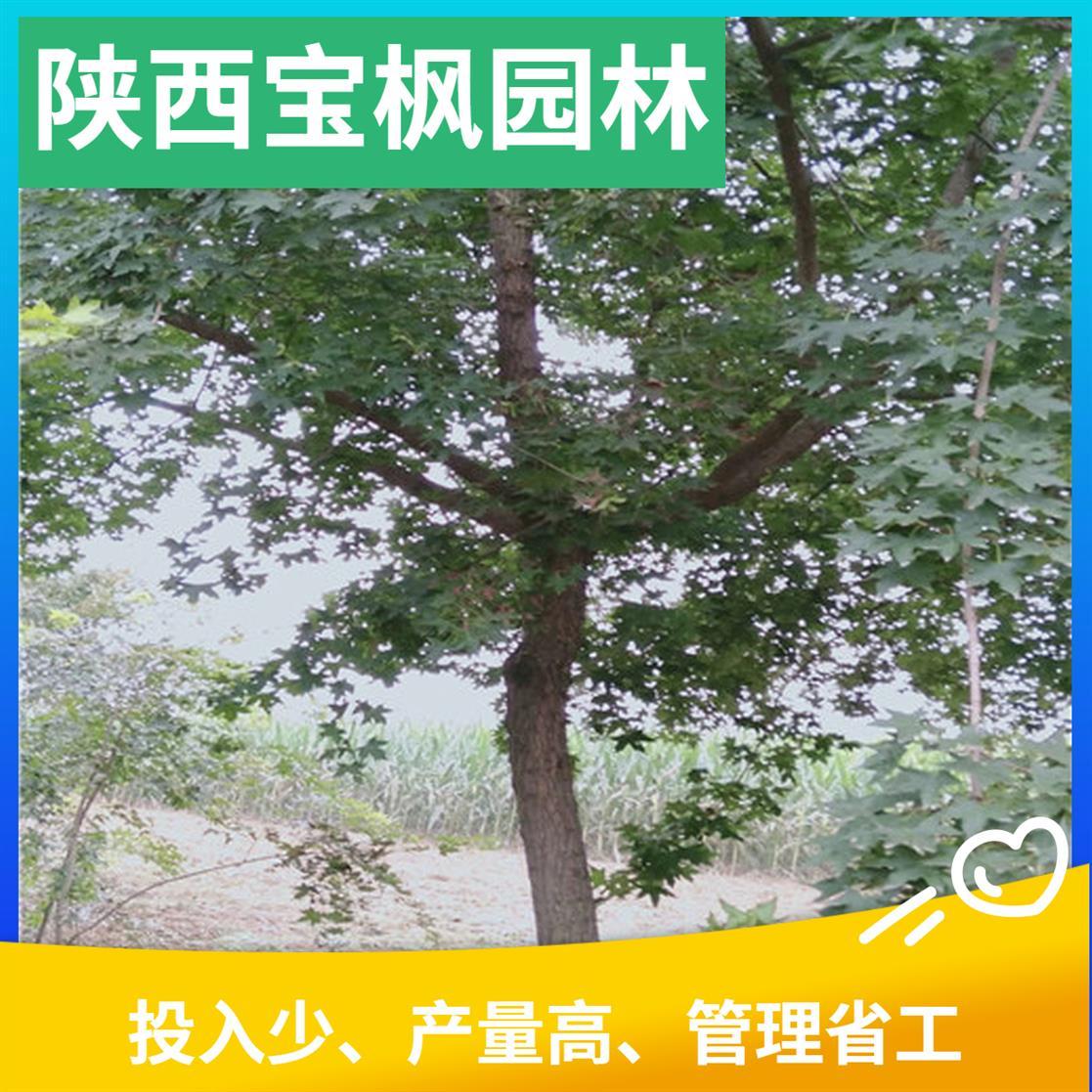 山东2-8公分元宝枫育苗技术 七叶树 发货快 量大易存活