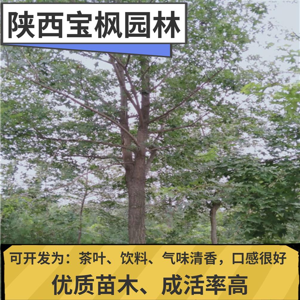 山东丛生元宝枫矮化 红叶元宝枫 优质苗木