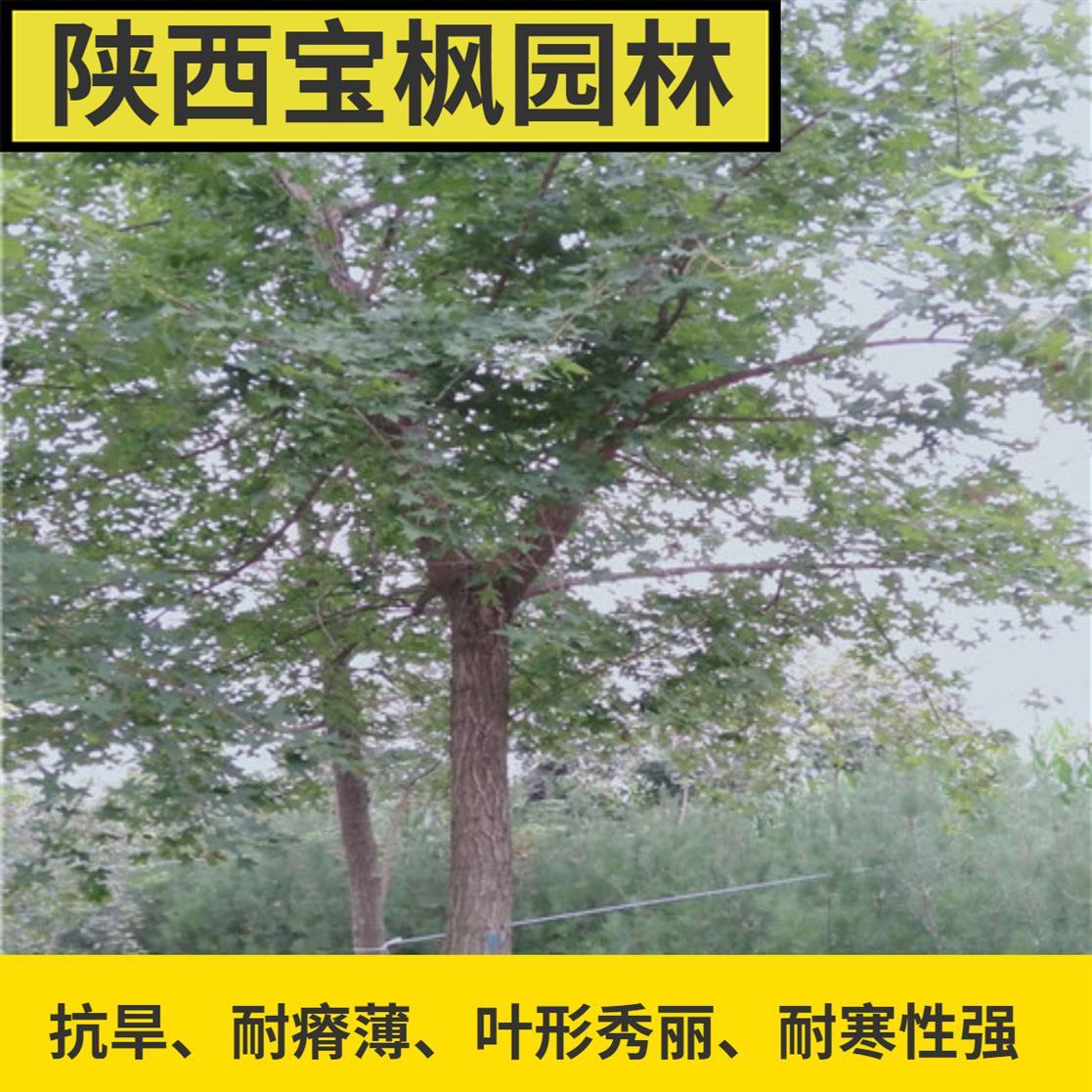 江苏丛生元宝枫量大优惠 红叶元宝枫 买苗木没来这家 后悔死了