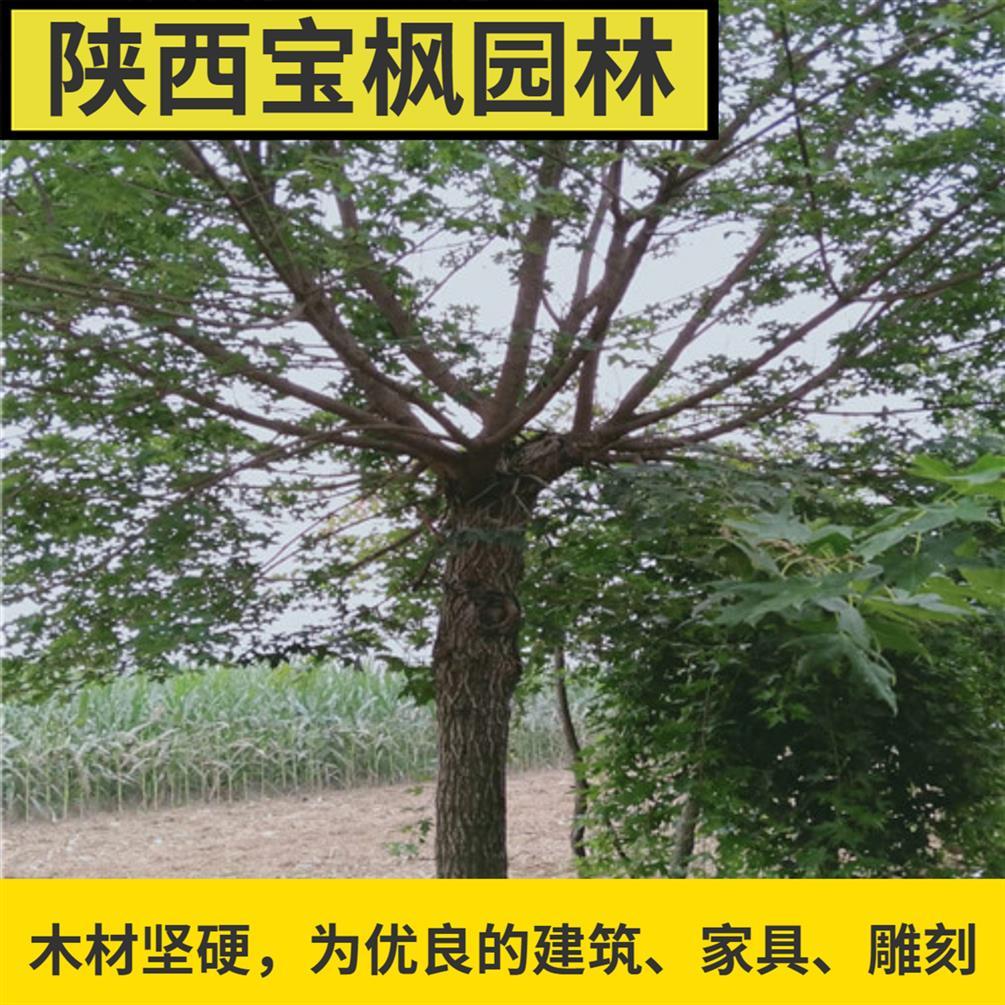 北京2-8公分元宝枫行业 红叶元宝枫 各大公分尺寸的都有
