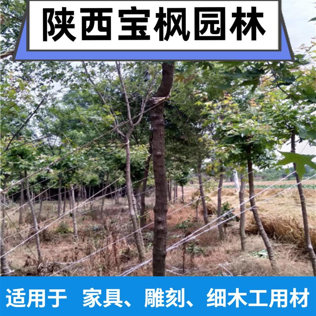 中国2-8公分元宝枫矮化 七叶树 这家苗木品质好 价格低