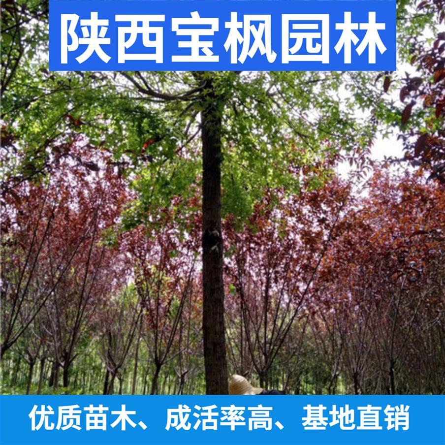 中国丛生元宝枫特点 国槐 树姿优美