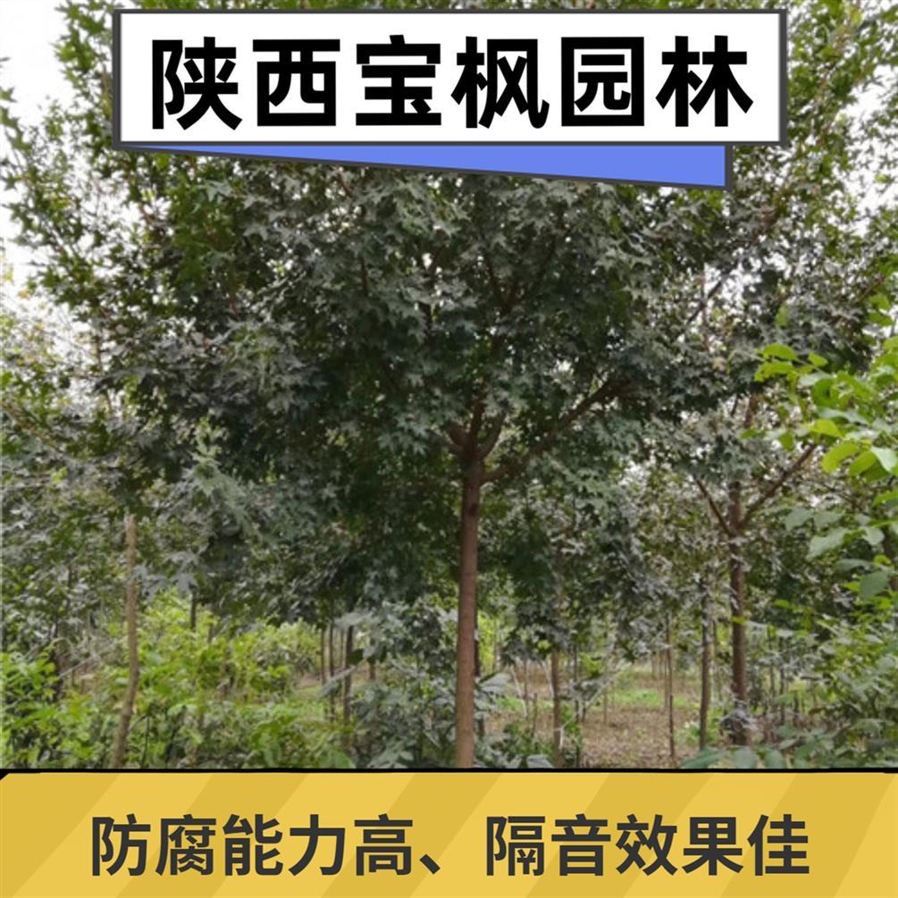 8公分元宝枫低价供应 七叶树 叶形秀丽