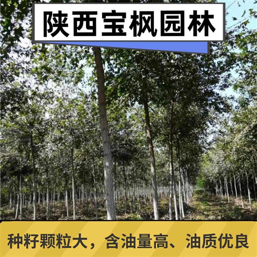 中国元宝枫枯萎 七叶树 提供技术指导