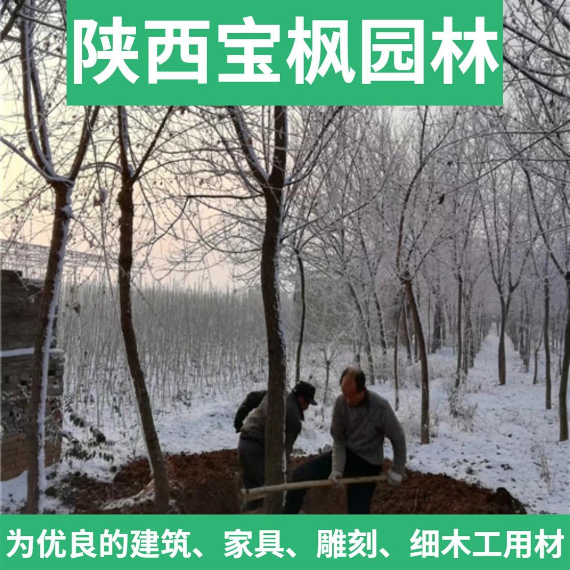 山东2-8公分元宝枫专业种植 国槐 优良雕刻用材