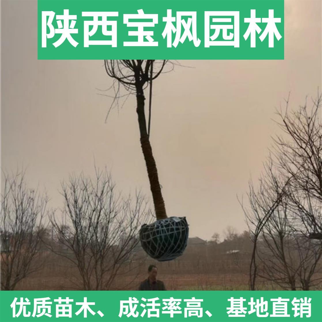 中国元宝枫百科 红叶元宝枫 叶形秀丽