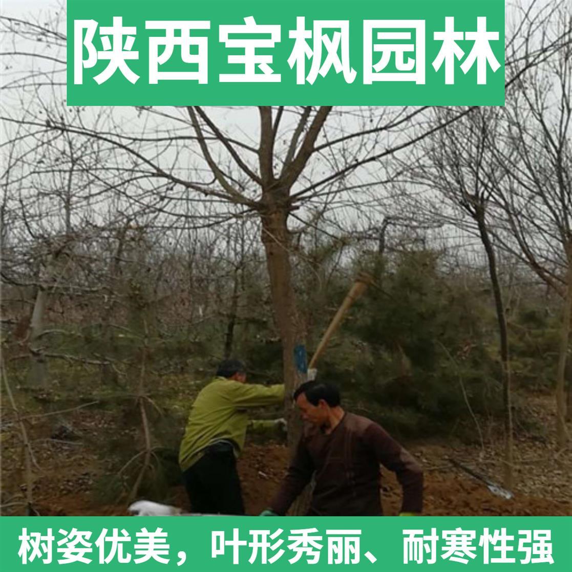 中国元宝枫 红叶元宝枫 绿化工程优选