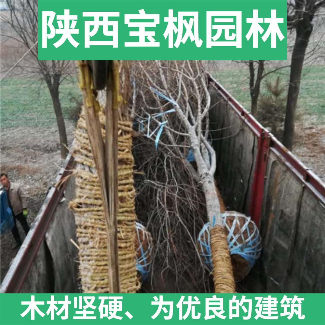 四川2-8公分元宝枫图片 七叶树 苗圃基地 现场看苗