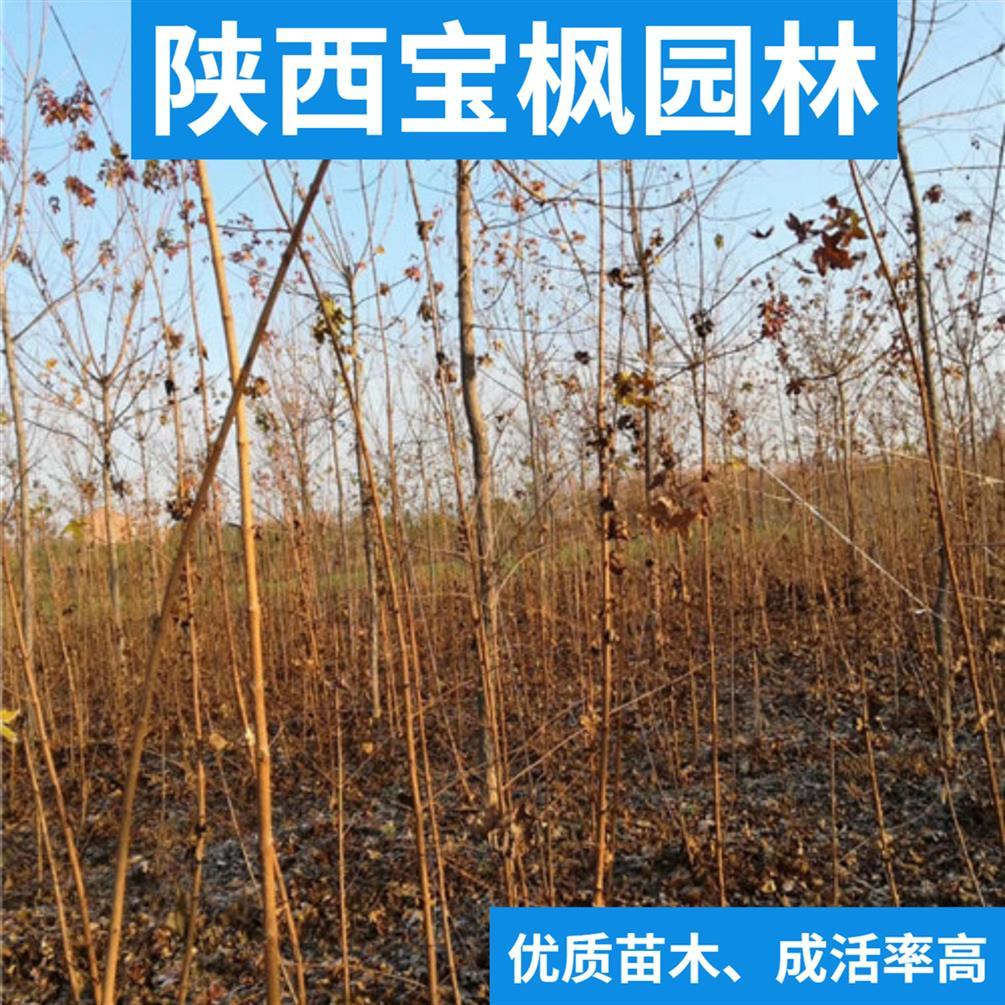 内蒙古8公分元宝枫基地 雪松 要想买的好 选对苗圃是关键