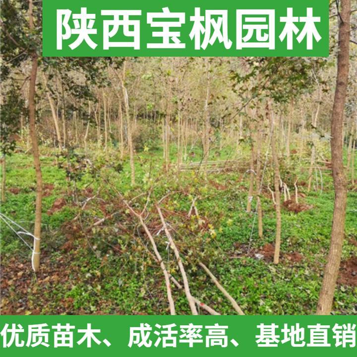 2公分元宝枫价格表 七叶树 苗圃基地 现场看苗