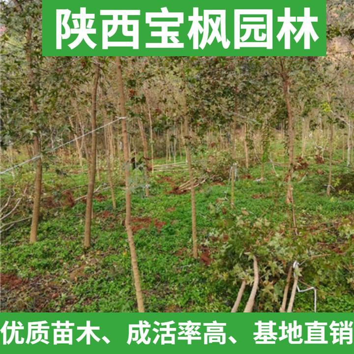 河北元宝枫百科 雪松 耐寒性强