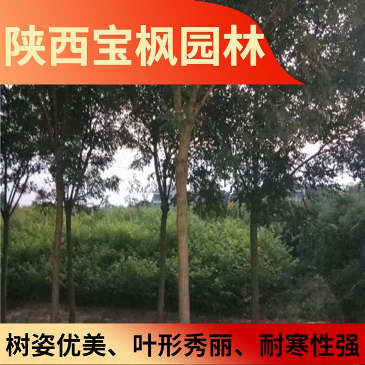 北京丛生元宝枫几年开花 雪松 发货快 量大易存活