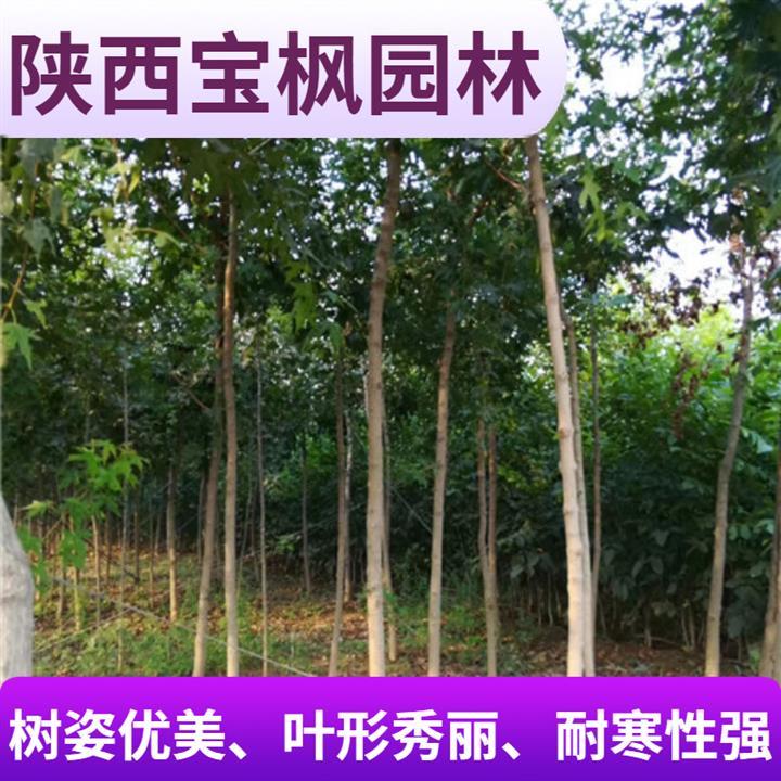 广东元宝枫造型 七叶树 高成活率