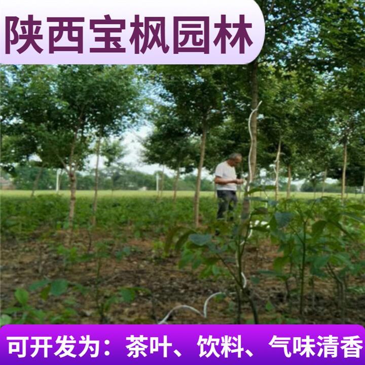 贵州8公分元宝枫基地 国槐 生命力强