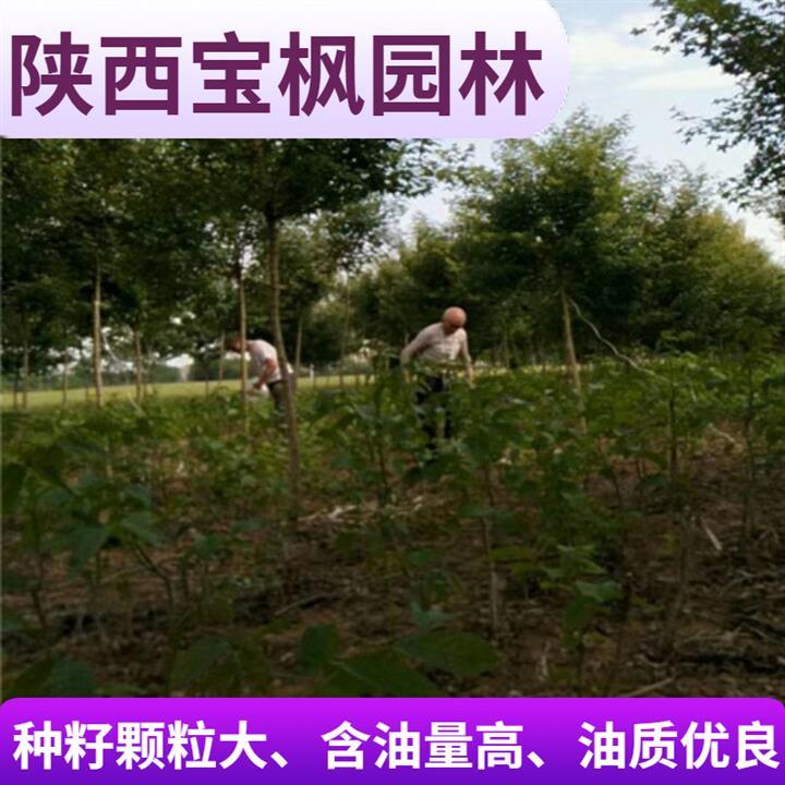 广东8公分元宝枫移栽 七叶树 苗圃基地 现场看苗
