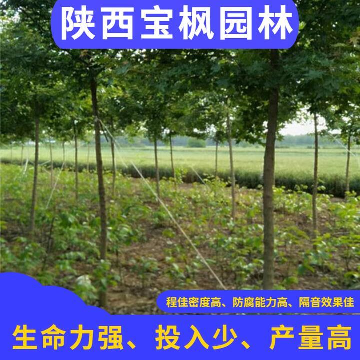 广东2公分元宝枫功效 七叶树 高成活率