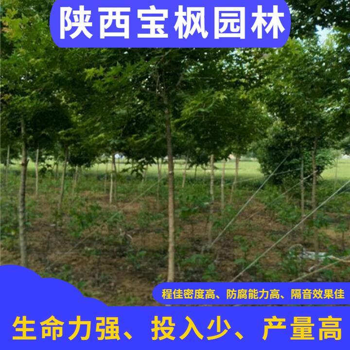 辽宁2-8公分元宝枫生长期 七叶树 品种纯正