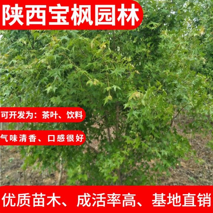 辽宁2-8公分元宝枫生长期,雪松