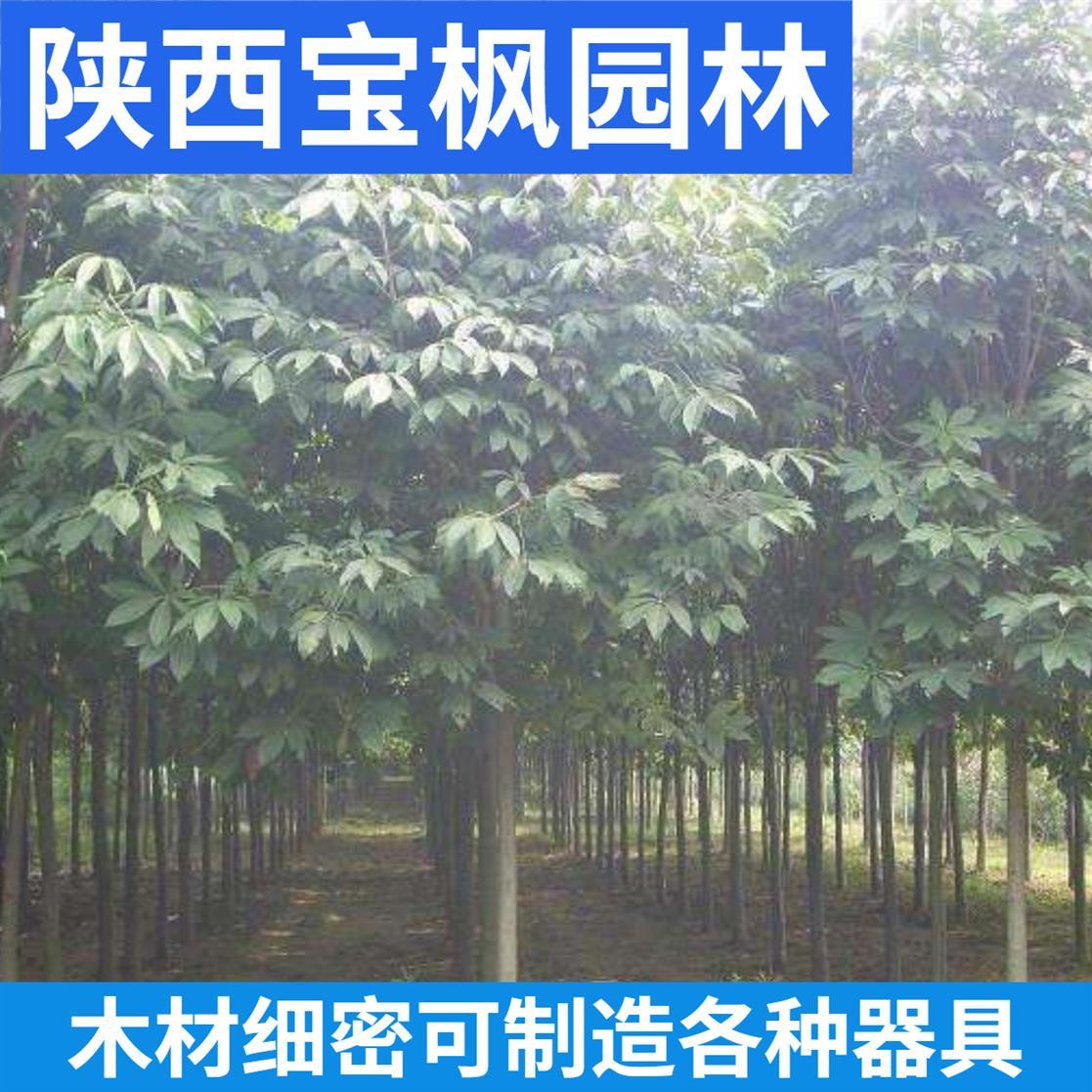 珠海七叶树基地 雪松 量大价格优惠