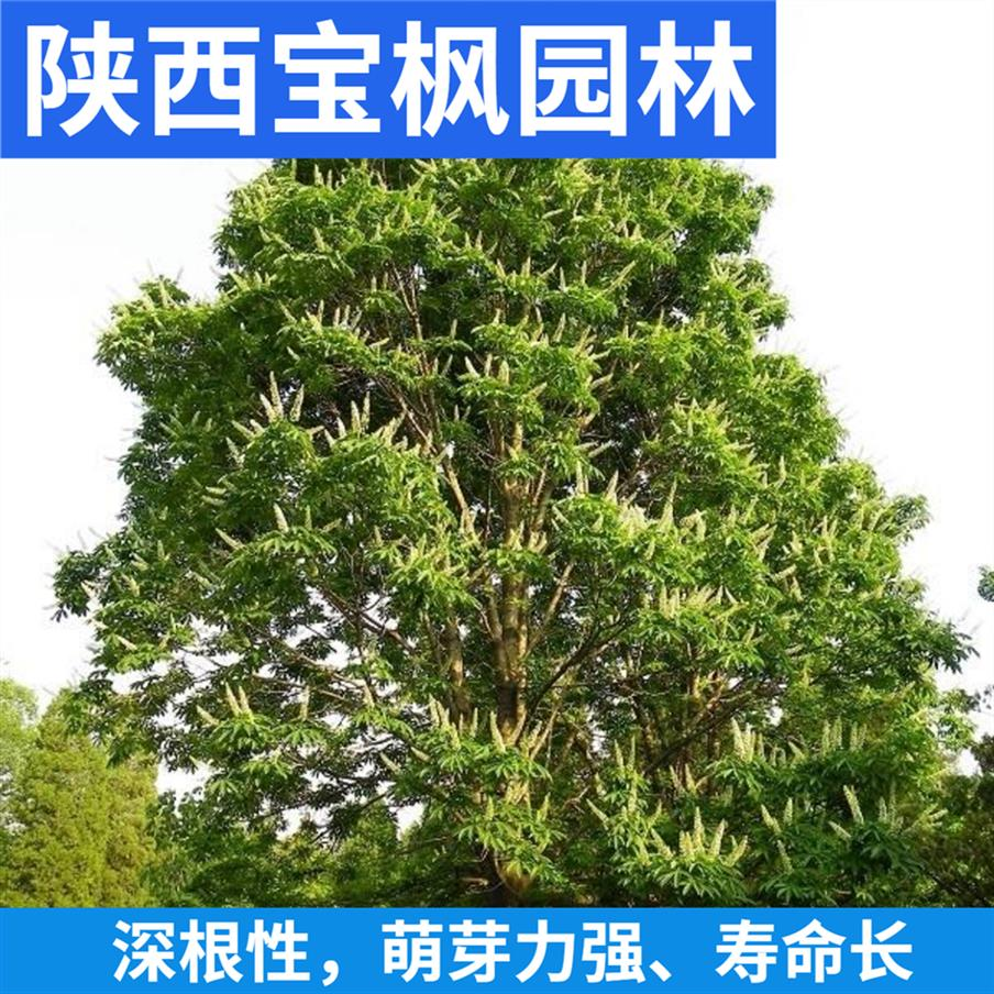珠海七叶树百科 红叶元宝枫 基地品种齐全