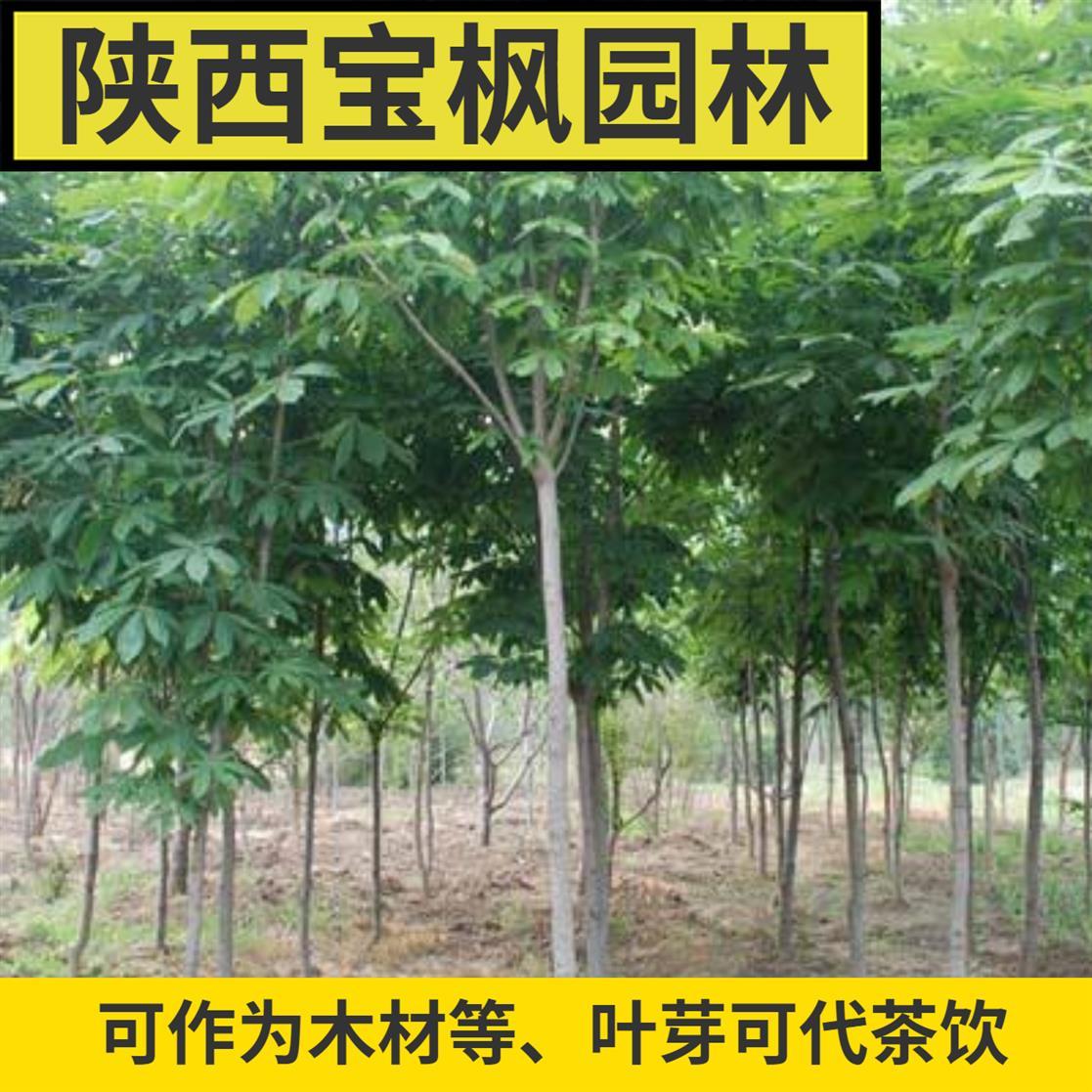 韶关2公分七叶树造型 元宝枫 如何才能选好苗才是关键