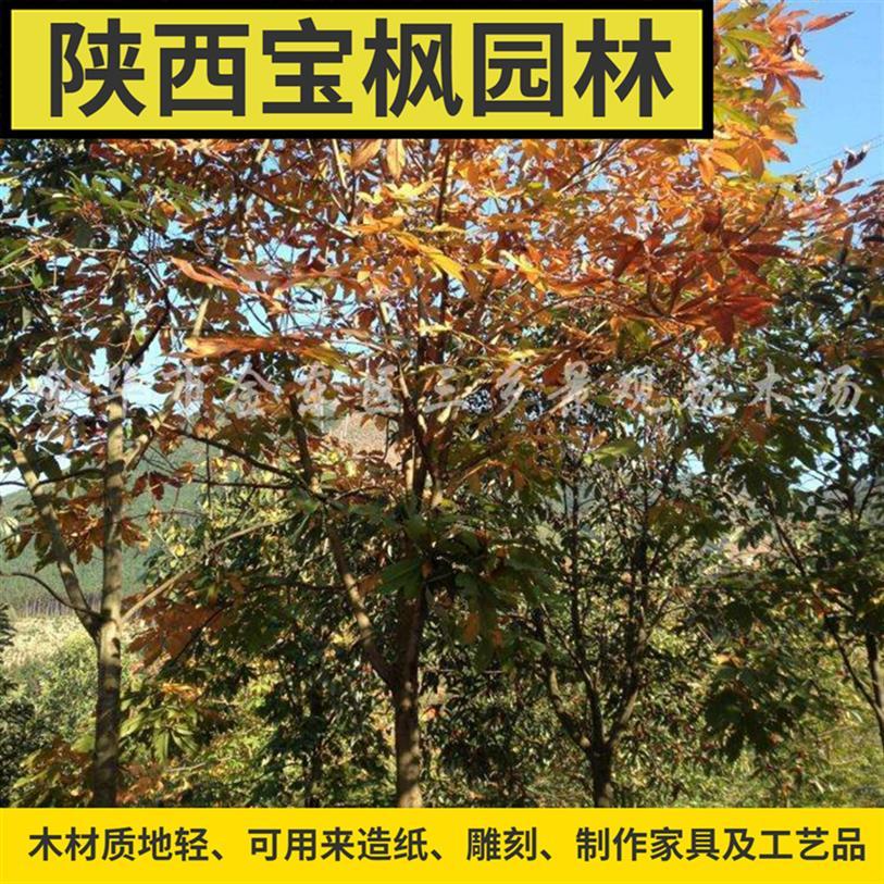 贵州2公分七叶树图片 国槐 种子育苗技术