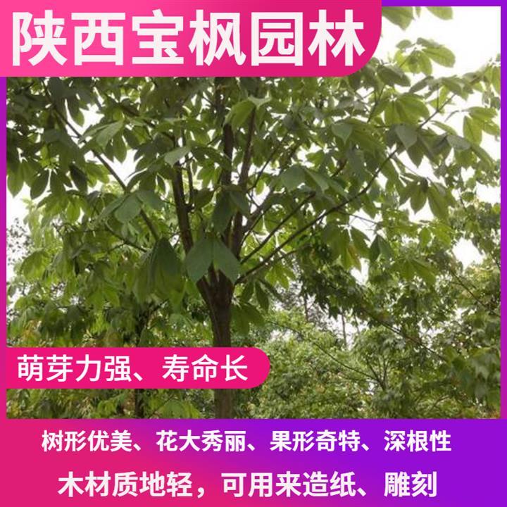 山东8公分七叶树种植 元宝枫 小苗大量供应