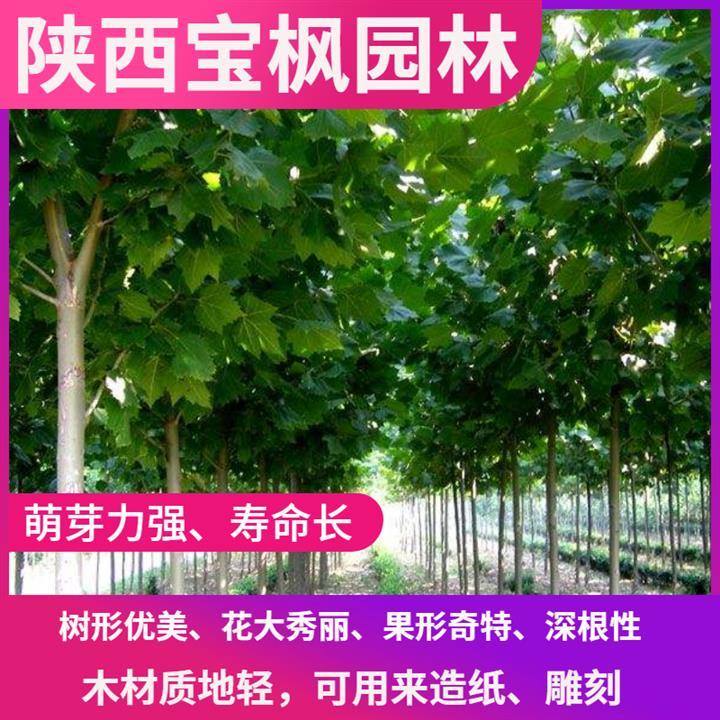 内蒙古2公分七叶树 雪松 品种纯正