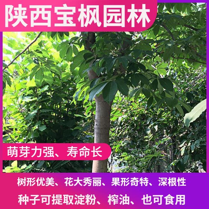 东莞七叶树生长 红叶元宝枫 批发就应该来这样的大型基地