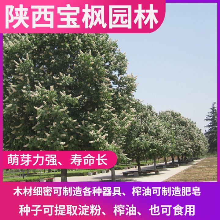 云浮七叶树产地 元宝枫 发货快 量大易存活