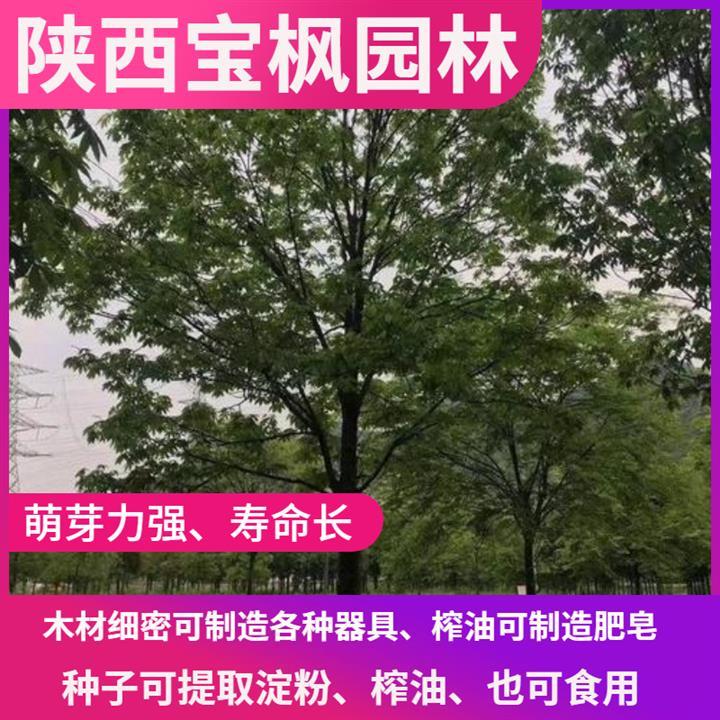汕尾8公分七叶树批发 红叶元宝枫 大型种植基地
