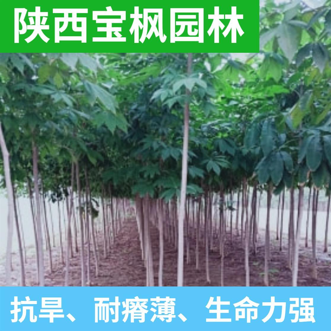 东莞8公分七叶树价格 红叶元宝枫 欢迎前来基地参考