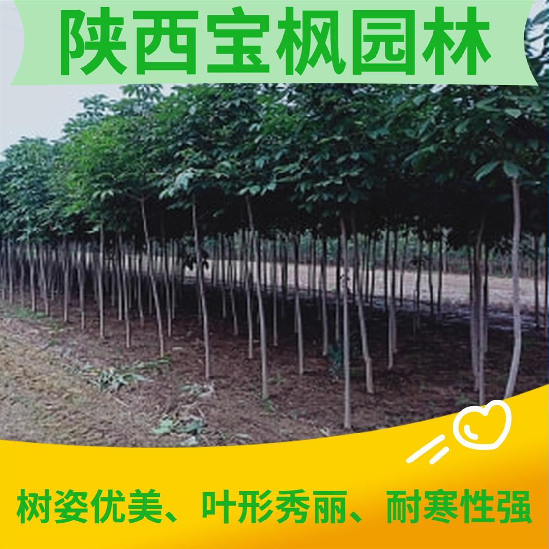 河源2公分七叶树繁殖 红叶元宝枫 树苗批发