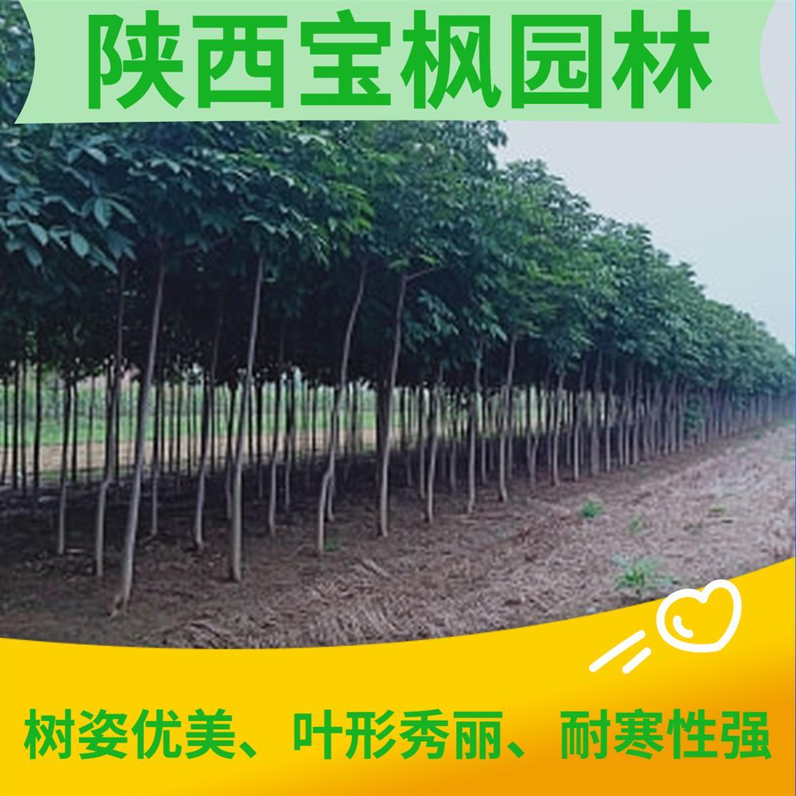 广州七叶树价格 雪松 看了5个苗木基地 就选他家了