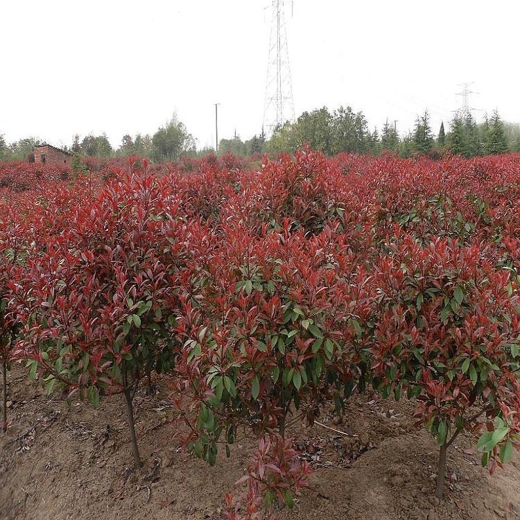 湖北红叶石楠品牌