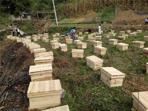 遵義蜜蜂養殖基地 務川蜜蜂養殖價格