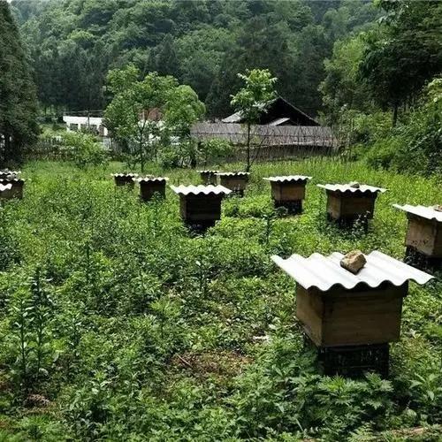 桐梓附近哪里有中蜂養殖 務川中蜂養殖公司