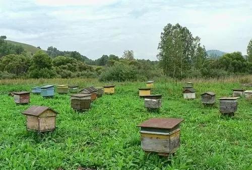 道真種蜂養殖技術 道真種蜂養殖批發價