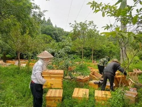 道真種蜂養殖單價 務川附近的種蜂養殖